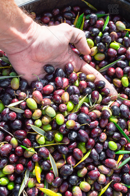 Hand with a handful of olives of different colors. olive harvest.