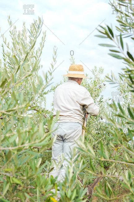 Farmer with straw hat on ladder picking olives from the top of a tree.