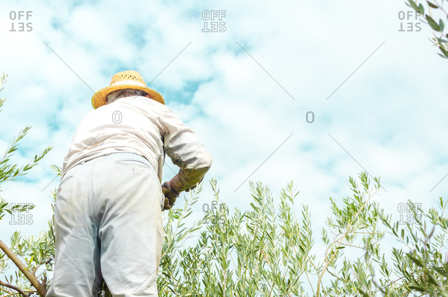Farmer picking olives from the tree on cloudy day, copy space right.