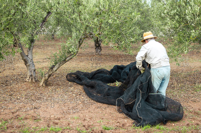 Old farmer with straw hat in the field picking olives using a net.