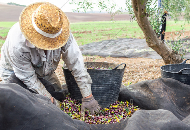 Crouching man with hat and protective gloves picking olives using a big bucket in the field.