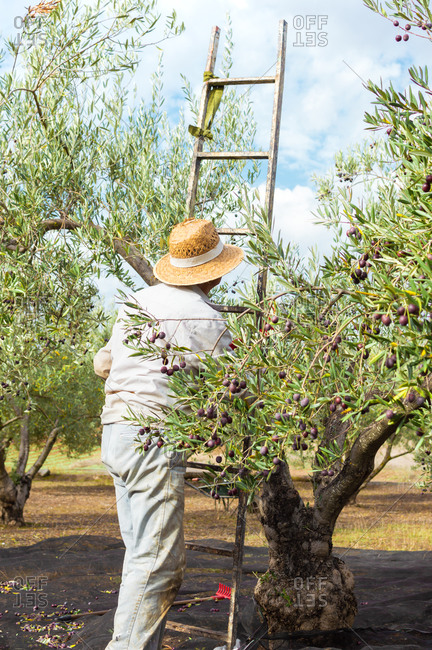 Farmer with straw hat carrying a ladder to pick olives from the top of the tree during a beautiful day.