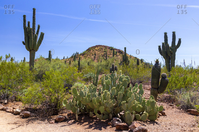 Cacti growing in the desert