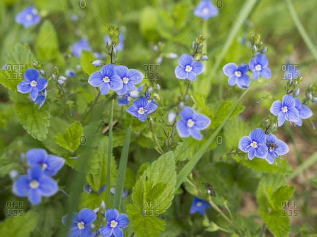 Blue speedwell flowers blooming outdoors