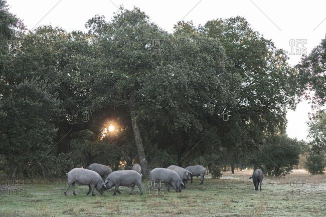 Iberian pigs grazing at farm under holly oak