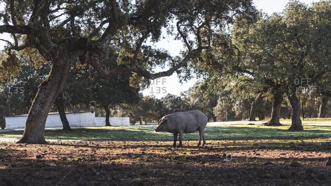 Iberian pig grazing while standing under holly oak at farm