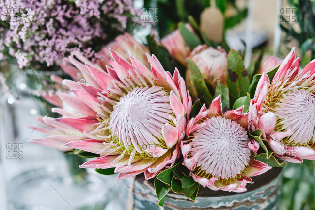 Pink flower of blooming protea or sugarbush plant