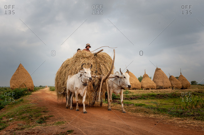 Cow Cart, On Red Dirt Road, Cambodia - 28 April 2010: Farmer Transporting Rice Hay Stack.