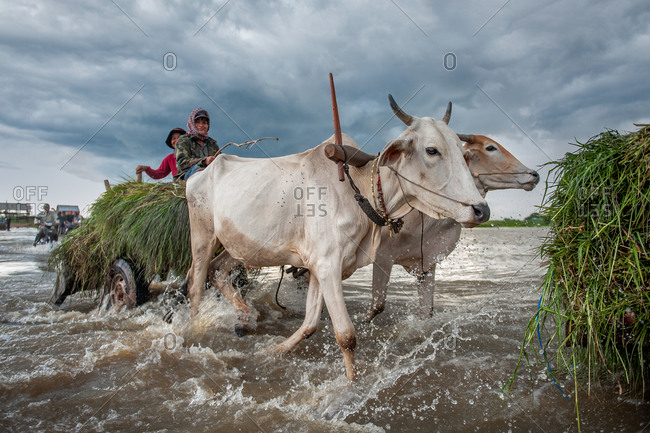 Cow Carts, Kompong Chnang, Cambodia - 03 June 2011: Young Khmer Woman Drives Cow Carts With Cattle Feed On Back Through Shallow River Crossing.