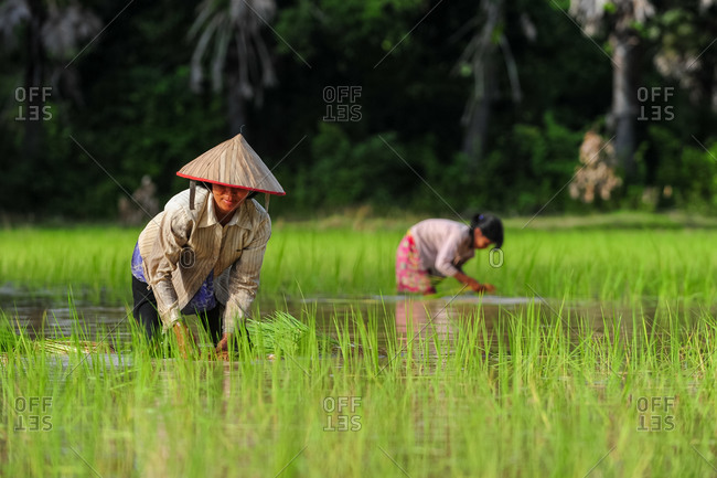Transplanting Rice, Siem Reap, Cambodia - 03 August 2011: Local Khmer Lady Wears Conical Hat As She Spends The Day Working In Wet Paddy Fields.
