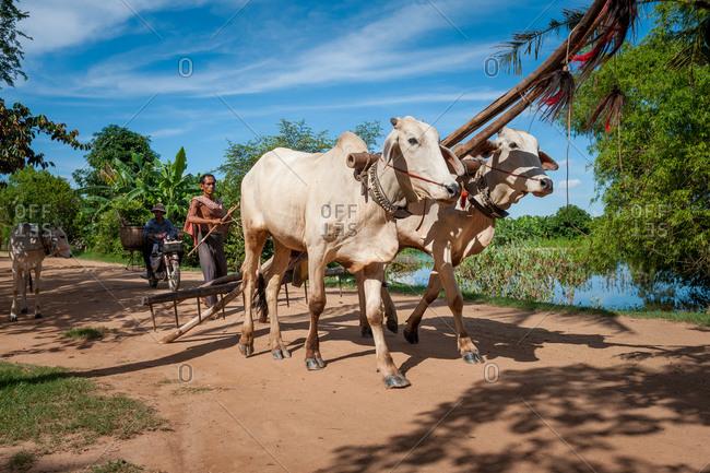 Bullock Plow, Cambodia - 20 August 2011: Farmer Returns From Days Work Ploughing Fields.