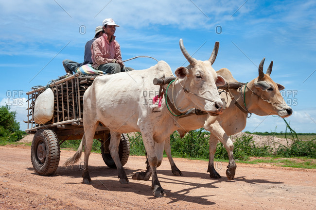 Farmers On Cow Cart, On The Road, Cambodia - 11 June 2012: Local Khmer Farmers Collect Wood.