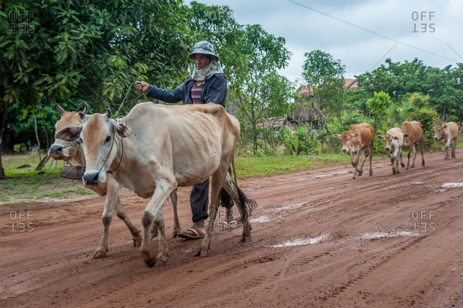 On The Road, Cambodia - 05 July 2012: Farmer Heards Cows.