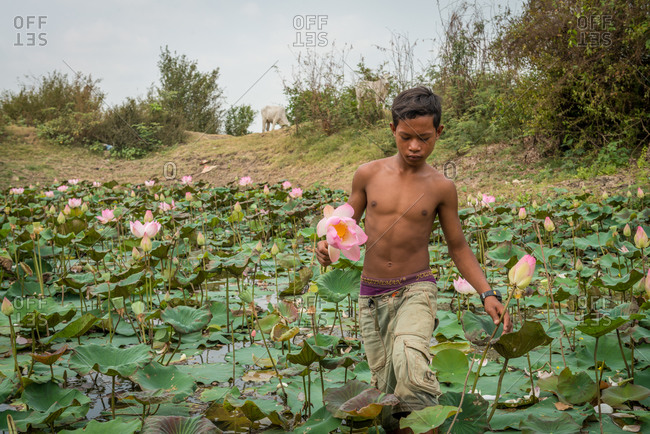 Kompong Cham, Cambodia - 12 March 2013: Cambodian Young Boy Collects Lotus Flowers From Local Lotus Pond.