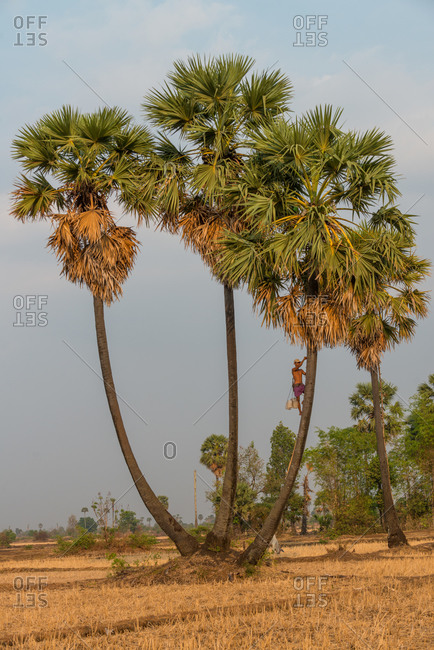 Kompong Chnang, Cambodia - 13 March 2013: Cambodian Farmers Collect The Palm Juice From Sugar Palm Trees In Plastic Containers Hung Over Night.