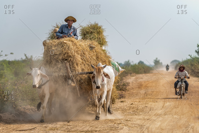 Cow Cart, On The Road, Cambodia - 27 February 2013: Transporting Rice Hay.