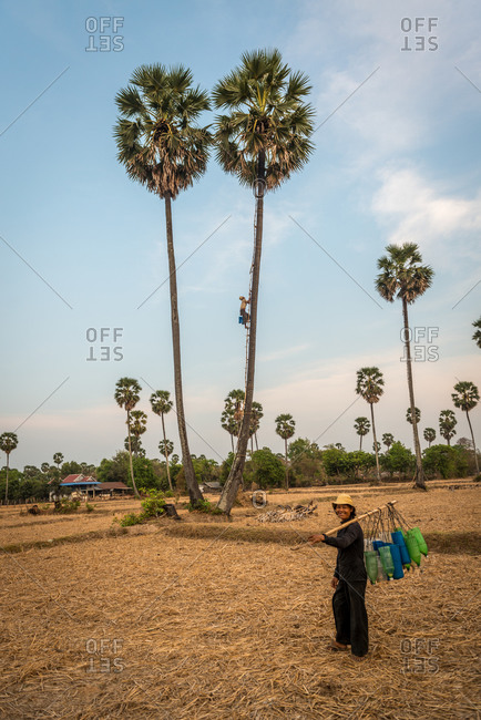 Kompong Chnang, Cambodia - 20 March 2013: Cambodian Farmers Climbs Bamboo Ladder To Collect The Palm Juice From Sugar Palm Trees In Plastic Containers Hung Over Night.