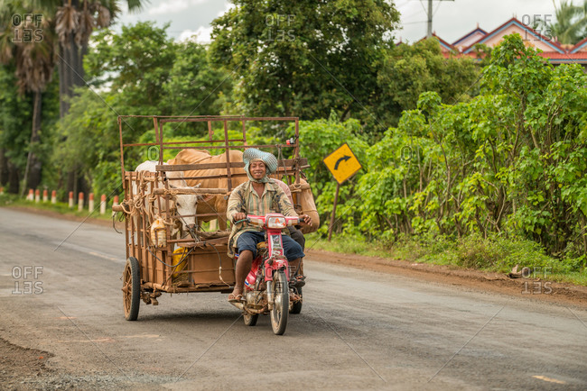 Cattle Transport, Cambodia - 15 August 2013: Khmer Farmer Transports Cows In His Motor Bike Trailer.