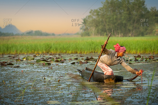 Water Lily Pond, Kampot Province, Cambodia - 14 October 2013: Khmer Lady Collecting Lotus Flowers Early In The Morning In Dug Out Canoe.