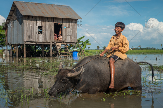 Flooded Houses, Kompong Thom, Cambodia - 17 October 2013: Son Rides Water Buffalo Past Family Flooded House During Seasonal Annual Floods.