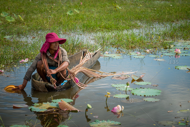 Lotus Pond, Takeo Province, Cambodia - 16 December 2013: Young Man Collects Lotus Flowers From Dug Out Canoe, With Exceptionally Long Stems That Locals Enjoy To Eat After Cooking.