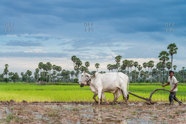 Kompong Chnang, Cambodia - 28 July 2014: Cambodian Farmer Uses Traditional Method Of Single Forrow Plough Attached To Two Cows In Rice Paddy Fields.
