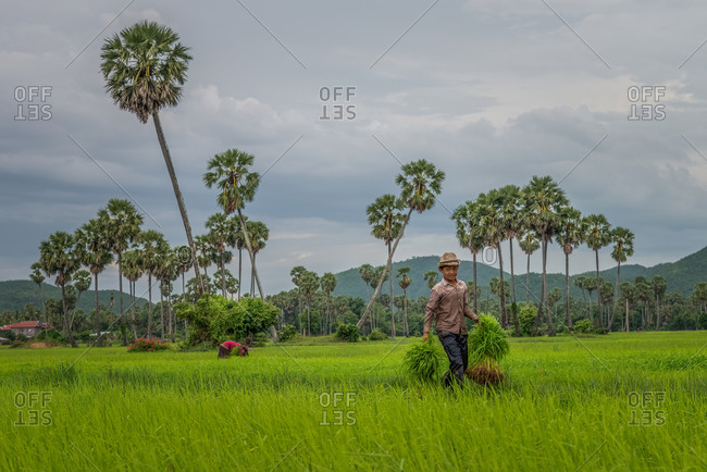Kompong Chnang, Cambodia - 28 July 2014: Cambodian Children Help Out With Seasonal Work Of Transplanting Rice.