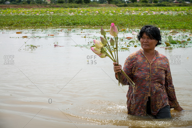 Lotus Pond, Udong, Cambodia - 22 October 2014: Cambodian Lady Collects Lotus Flowers From Flooded Fields.
