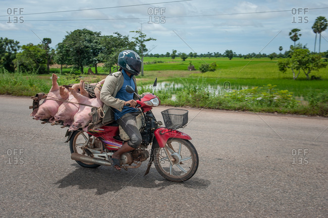 Pigs On Motorbike, On The Road, Cambodia - 16 September 2013: Local Farmer Loads Pigs On Motor Bike Whilst Sitting On Bag Of Rice.