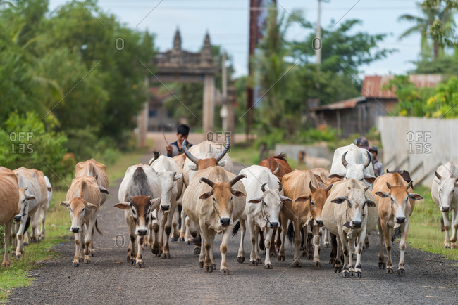 Cattle, On The Road, Cambodia - 17 September 2014: Young Khmer Man Herds Cows Home.