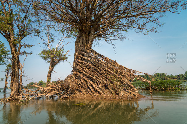 Preah Rumkel, Stung Treng Ramsar Site,, Cambodia - 17 February 2013: Amazing River Swept Roots Of Trees Exposed In Dry Season.