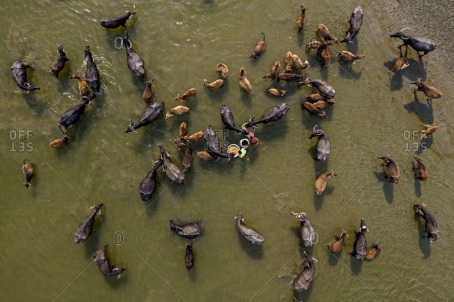Aerial view of cattle being herded across for their daily bath in the river Jamuna in Bogura, Bangladesh.