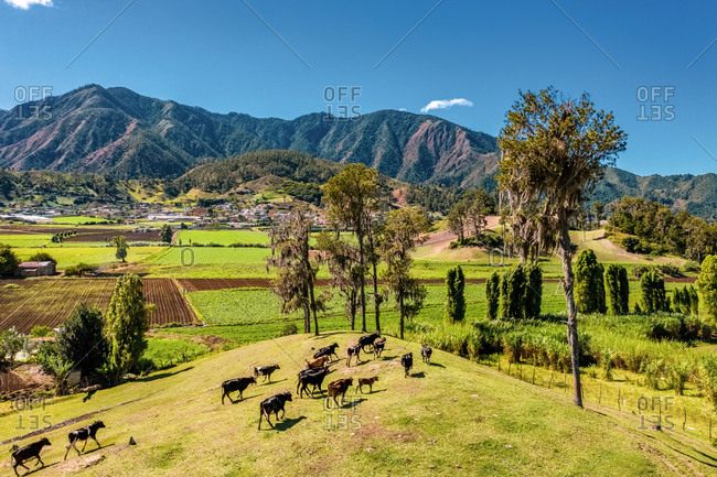 Aerial view of cows walking in the beautiful green mountains, Constanza, La Vega, Dominican Republic