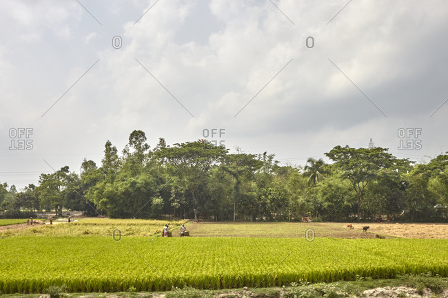 Bangladesh - April 29, 2013: Villagers harvesting rice in a rice paddy in rural Bangladesh
