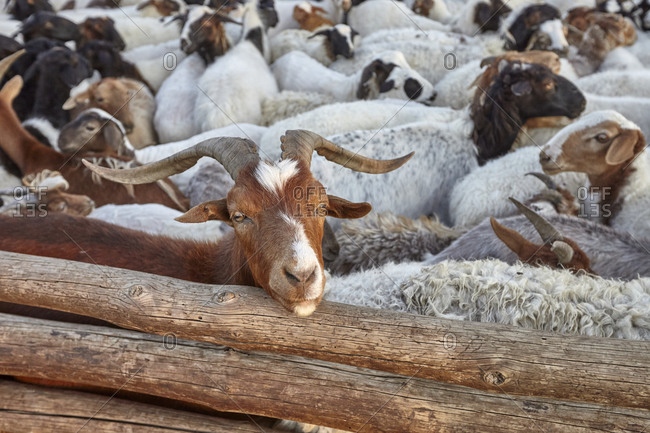 Close-up of a herd of goats and sheep in a sheepfold in the Gobi desert, Mongolia