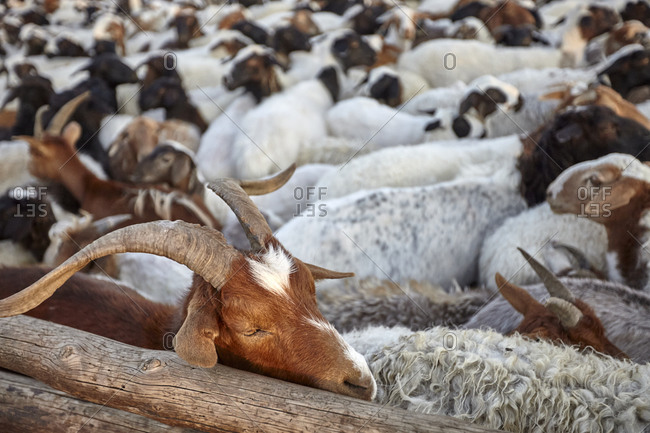 Goats and sheep in a sheepfold in the Gobi desert, Mongolia