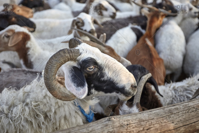 Sheep and goats in a sheepfold in the Gobi desert, Mongolia
