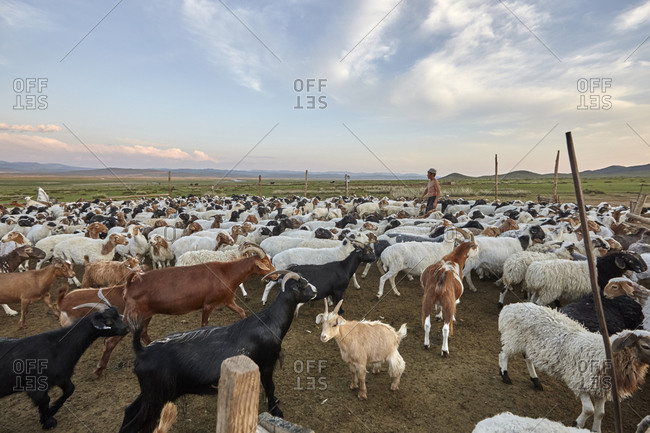 Mongolia - July 20, 2015: Shepherd and a herd of goats and sheep in a sheepfold in the Gobi desert, Mongolia