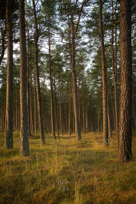 View of a forest with tall trees at sunset