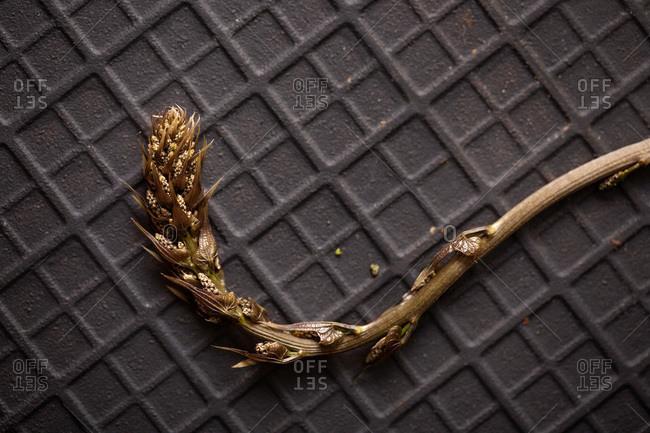 Wild asparagus on a black slate stone