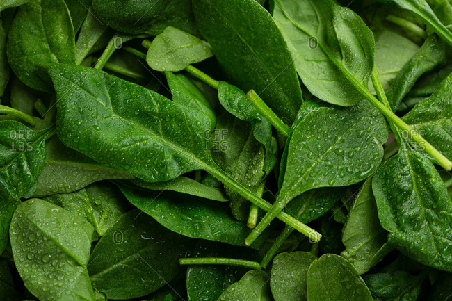 Overhead view of fresh organic spinach leaves with water drops