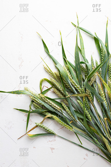 Close up of green wheat ears on light surface