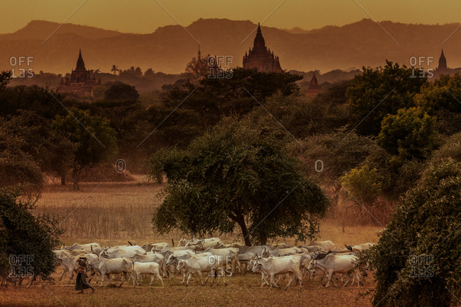 Cattle herd return home across plains in foreground of historic temples. Shot in west direction from  Pyathetgyi Pagoda roof top.