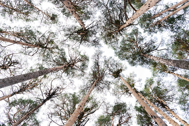 From below of tall pine trees growing in woods of Sierra de Madrid against gray cloudy sky in autumn day