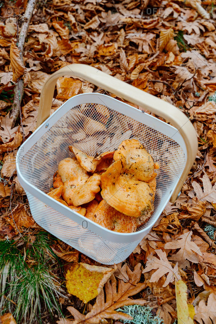 Top view of basket with chanterelles mushrooms placed amidst fallen dry foliage in autumn forest