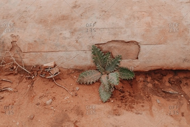 High angle of green cactus with prickly leaves growing in dry Wadi Rum sandstone valley