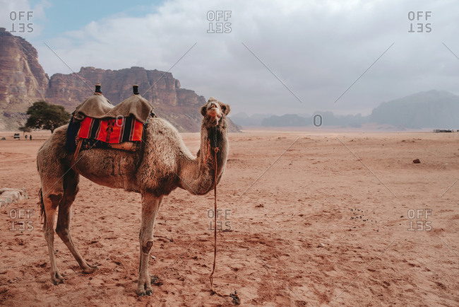 Wild fluffy camel standing on dry sandy ground in sandstone valley in Wadi Rum