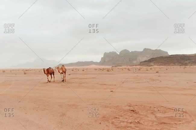 Wild fluffy camels standing on dry sandy ground in sandstone valley in Wadi Rum