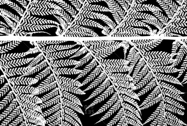 Inverted black and white close-up photography series of detail of tree fern leaves