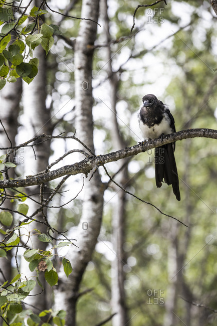 Wild black-billed Magpie perched on a branch among green leaves